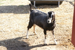 Kinder Farm Park (Eric E Haas) Tags: animals maryland goats millersville kinderfarmpark annearundelcounty sony1870mm sonydslra700