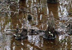 cypress knees in swamp (Martin LaBar) Tags: reflection water southcarolina swamp cypress knees root blackcreek hartsville cypressknees darlingtoncounty taxodioideae segarsmckinnonheritagepreserve