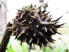 Untitled (mightyquinninwky) Tags: geotagged dead spring pod kentucky thistle onwhite seedpod onblack westernkentucky ohiorivervalley viewonblack smithmillskentucky hendersoncountykentucky thebluegrassstate viewonwhite geo:lat=37800926 geo:lon=87747438 jasonpresser 11223344556677