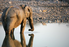 RIFLESSIONI (peo pea) Tags: africa wild parco elephant reflection nature animals bush wildlife natura safari waterhole namibia animali animale etosha specchio elefante riflesso zanne savana naturalmente elefanti riflessioni supershot mammifero wildafrica proboscide okakuejio peopea