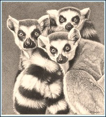 'Heads and Tails' - Lemurs - Fine Art Pencil drawings  www.drawntonature.co.uk (kjhayler) Tags: pictures blackandwhite art monochrome animal animals monkey artwork image drawing wildlife picture drawings images naturalhistory lemur monkeys lemurs madagascar primate monkies ringtail oldworld primates animalart wildanimals ringtailedlemur ringtailed animalprints ringtailedlemurs pencilwork pencildrawings wildlifeimages drawingpictures animalpictures wildlifeart wildlifephotography wildlifephotos ringtaillemur animalphotos animaldrawings wildlifeartists lemers naturepictures ringtails ringtaillemurs monkeyphotos monkeypictures wildlifeportraits wildpictures monkeypicture animalspictures openedition wildlifeartist picturesofmonkeys wildlifedrawings drawingphotographs kevinhayler lemurspictures imageslemurs lemurdrawings picturesmonkeys picturelemur pictureslemurs picturesringtails lemurpicture lemurpictures lemurphoto lemurphotos lemursphotos picturesoflemurs photosoflemurs imagelemurs animalslemurs photosofmonkeys