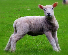 Spring Moments (M-J Turner) Tags: england green field grass animal pose spring moments sheep farm yorkshire lamb carefree dales wether yorkshiredales englishness golddragon ultimateshot goldenphotographer springmoments