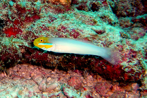 Blueband Goby at Similan Islands