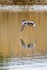 Reflection on a peaceful place - Réflection sur un surface de paisible (Luc Deveault) Tags: wild canada bird animal duck pond eau quebec action reflet québec luc takeoff oiseau canard étang sauvage avianexcellence flyning deveault encvol lucdeveault