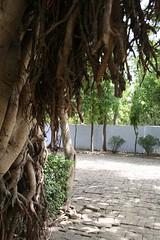 Chopped roots (vocessitas) Tags: tree banyan banyantree rootsindia