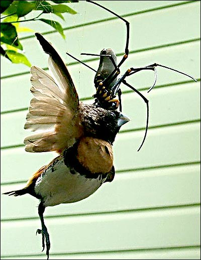 Golden Orb Spider eating a bird