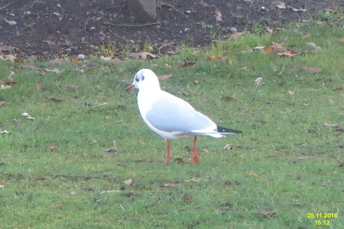 Black-headed gull (SG)