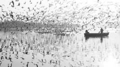 Siberian Gulls