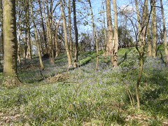 BLUEBELL CARPET DOWN IN THE FISHERY WOODLANDS 20150422_113052 (Coventry City Council) Tags: coombecountrypark coombeabbey coventry