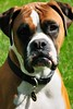 Lucky the Boxer (Mike in Kansas) Tags: nikon d300 capturenx sigma2460f28ex