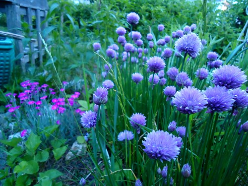 chives and pinks