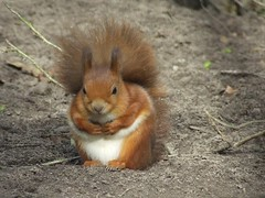 Red Squirrel (visionthing64) Tags: park red animal squirrel lancashire bolton mossbank specanimal