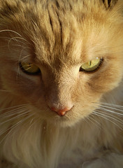 Just Jack (bardlee) Tags: fab cats cat ginger longhair favourite flickrsbest cc100 abigfave kissablekat bestofcats kittyschoice superbmasterpiece diamondclassphotographer flickrdiamond alittlebeauty oscarsurrealleous