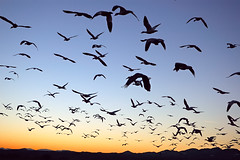 Evening Rush Hour at Bosque (Fort Photo) Tags: sunset newmexico bird nature birds animal silhouette geese searchthebest wildlife birding bosque ave nm ornithology bosquedelapache avian 2007 snowgeese nwr naturesfinest vob supershot abigfave platinumphoto superaplus aplusphoto superbmasterpiece