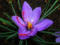 ~~Last Saffron~~ (Queenscents) Tags: flowers flower macro nature japan photo bravo flickr searchthebest quality crocus explore mygarden soe breathtaking saffron polaris takeabow naturesfinest blueribbonwinner top20flowers excellenceinfloralphotography supershot flowerotica flickrsbest fantasticflower goldenmix golddragon mywinners abigfave worldbest shieldofexcellence platinumphoto anawesomeshot impressedbeauty flickrenvy superbmasterpiece isawyoufirst diamondclassphotographer flickrdiamond ysplix amazingamateur theunforgettablepictures naturewatcher queenscents macromarvels wonderfulworldmix macromix dazzlingshots theperfectphotographer goldstaraward amazingexcellence