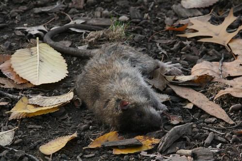 Dead rat Tompkins Square Park