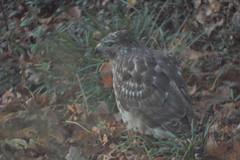 Hawk on ground