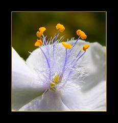 (Janice of NZ) Tags: flowers newzealand gold bravo pretty purple stamens colourful wisdom thebestbravo supershot magicdonkey flickrsbest platinumphoto diamondclassphotographer flickrdiamond life~asiseeit