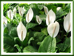 Spathiphyllum spp. (Peace Lily or White Sails)