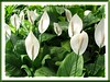Spathiphyllum spp. (Peace Lily, White Anthurium)