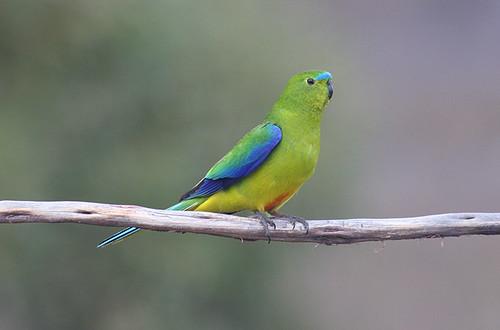 IMG_5512 Orange-bellied Parrot (Neophema chrysogaster)