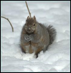 Snow Bunny (makeupanid) Tags: snow bunny nose squirrel paws easterngraysquirrel animaladdiction youpick impressedbeauty cutelittlepaws ithinkhesholdingapeanuthere notthedayafterthebigstormthedayafterthelittlestorm nocardinalstodaytomorrow doyouwantmaleorfemale