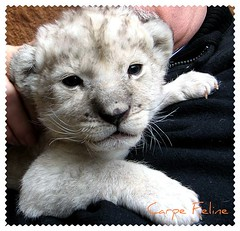 baby lion (Carpe Feline) Tags: fab baby mammal zoo cub asia lion adorable korea resort seoul fabulous lioncub pictureperfect whitelion everland peopleschoice themoulinrouge naturesfinest kingofthebeasts ilovemypic carpefeline platinumheartaward platinumhearts theperfectphotographer thegardenofzen goldstaraward goldstarmedalwinner peopleschoiceplus stealingshadows