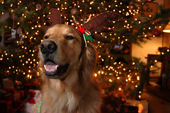 Chief on Christmas (Sweendo) Tags: christmas dog reindeer golden chief retriever antlers strobist