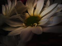 FLoReS... (RoOoOo!!!) Tags: flores flower planta flora flor margarita