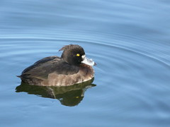 Tufted Duck on Surrey Water