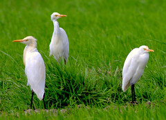 egret_breeding (Rey Sta. Ana) Tags: wild bird birds photography ana wildlife philippines manila rey avian sta palawan philippine wildbirds mantarey candaba staana
