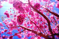 Beautiful Pink Tree (Jessica New) Tags: california ca new pink usa tree nature beautiful contrast d50 march spring nikon natural bright jessica blossoms socal burbank frontyard 2008 springtime grandmashouse blooming jessicanew