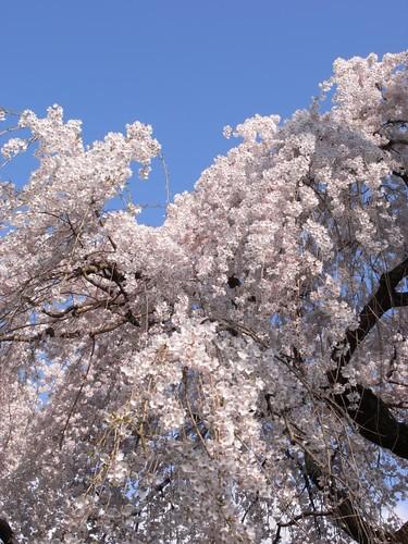 氷室神社(しだれ桜)-06