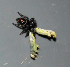 Jumping Spider With Caterpillar