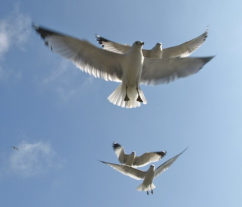Ring-billed Gulls