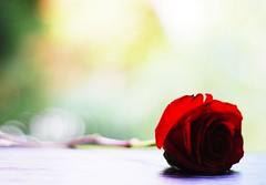 you don't bring me flowers anymore... (*Peanut (Lauren)) Tags: red rose 50mm still thankyou purple bokeh redrose crossprocessing xp firstquality explored shortlyafteristartedsingingthistunemydhbroughtmeroses feelbetterella laurenxoxoxoxoxox heheheimgladimadeyoulaughkeepthesmileforyouwork lovethisshottoobreathtaking