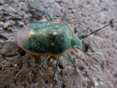 Colorful Critter (Stink Bug)