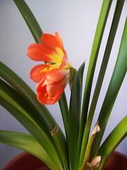 flowering clivia