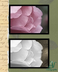 roseflowers38x10
