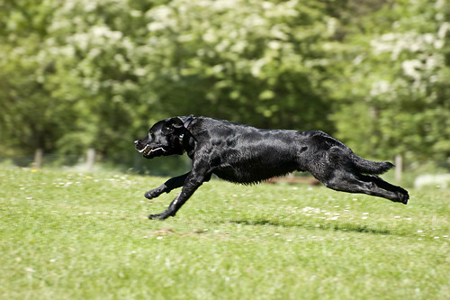 Black labrador full of energy