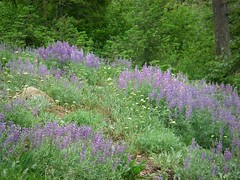 Lupine slope1