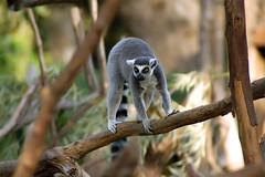 Lemure (Daniele_p) Tags: nature animal d50 zoo nikon natura tamron animale lemure 70300 tamron70300 bioparco