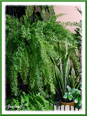 Nephrolepis falcata cv. furcans (Fishtail Sword Fern) on a metal stand, at our garden porch. August 2006