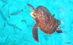 Hawkbill Turtle, Thailand (_takau99) Tags: ocean trip travel sea vacation holiday nature water topv111 lumix islands asia turtle indianocean may panasonic thai seaturtle 2009 similan andaman andamansea honeymoonbay similanislands topf5 takau99 hawkbillturtle similan4 edive dmcfx30 イーダイブ
