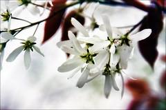 unknown flower (baseman79) Tags: flower canon eos is spring nb newbrunswick unknown usm hampton dslr 2009 ef ih 24105mm 50d sjphoto nbphoto bmca