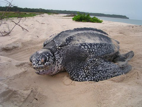 leatherback in gabon