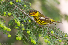 Cape May Warbler adult male (phil.jeffrey) Tags: nyc usa ny bird nature centralpark wildlife avian capemaywarbler dendroicatigrina springmigration setophaga wwwcatharuscom setophagatigrina