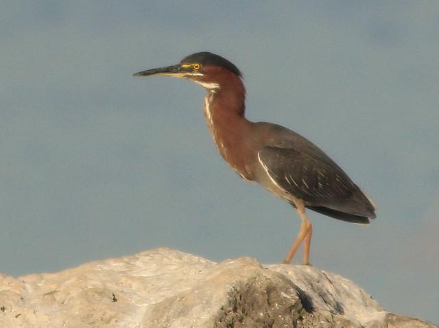 Green Heron 20110529