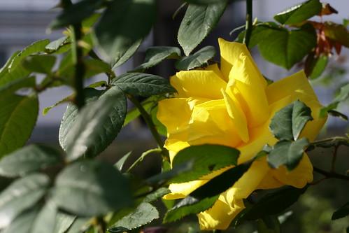 sunny side rose