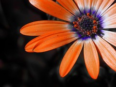 07:53 p.m. (Sator Arepo) Tags: orange flower macro clock nature reflex time blossom watch olympus petal hour zuiko e500 uro 50mmmacroed